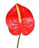 Anthurium flower Royalty Free Stock Photos