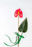 Anthurium flower and leaf on a white textured background Royalty Free Stock Photos