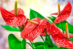 Anthurium flower Stock Photos