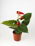 Anthurium a flowering plant Royalty Free Stock Image