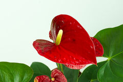 Anthurium a flowering plant Stock Photos