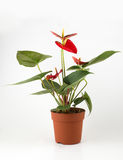 Anthurium a flowering plant Royalty Free Stock Images