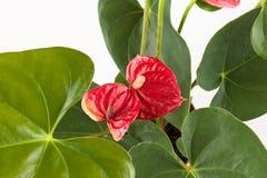 Anthurium a flowering plant Stock Photo