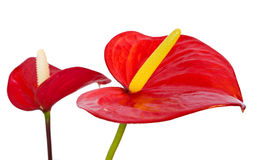 Anthurium flowers. Two red anthurium flowers isolated with clipping path Royalty Free Stock Photos