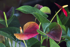 Anthurium Flowers. Bunch dispersed on a dark background Royalty Free Stock Photo