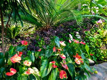 Anthurium flowers in Denver, Colorado Stock Photography