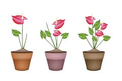 Anthurium Flowers or Flamingo Lily in Ceramic Flower Pots Stock Image