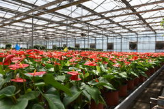 Anthurium. Flowers in the greeehouse Stock Image