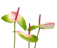 Anthurium flowers. Isolated on white background Stock Photos