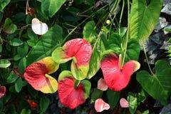 Anthurium flowers. In Singapore closeup Stock Photo
