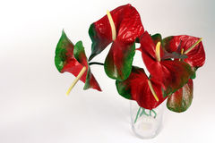 Anthurium flowers on the white background Stock Images