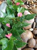 Anthurium flowersl στον κήπο αμμοχάλικου Στοκ φωτογραφίες με δικαίωμα ελεύθερης χρήσης