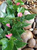 Anthurium flowersl in the gravel garden. Royalty Free Stock Photos