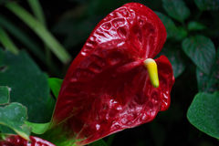Anthurium - genus of evergreen family Araceae. Red flower Anthurium - genus of evergreen family Araceae Royalty Free Stock Photography