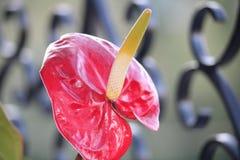 Anthurium stock image
