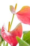 Anthurium Härlig blomma på ljus bakgrund Fotografering för Bildbyråer