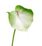 Anthurium kwiat Zdjęcie Stock