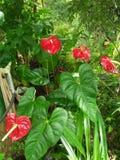 Anthurium kwiaty Obraz Royalty Free