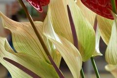 Anthurium kwiaty Zdjęcia Stock