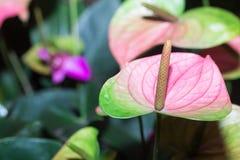 Anthurium kwiaty Zdjęcie Stock