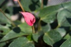 Anthurium kwiaty Zdjęcie Royalty Free