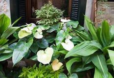 Anthurium kwiaty i zielone rośliny Zdjęcie Stock