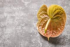 Anthurium kwiaty na szarość kamienia tle Zdjęcia Stock