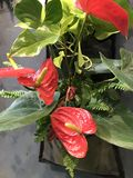 Anthurium or Laceleaf. Stock Photography