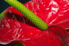 Anthurium. This is a large exotic red flower Anthurium Royalty Free Stock Photo