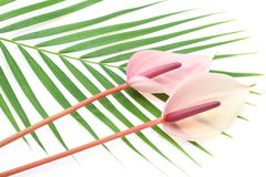 Anthurium on a leaf Stock Photography