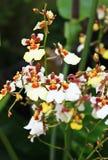 Anthurium macrolobium Hort Στοκ Εικόνα