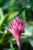Anthurium martianum Στοκ φωτογραφία με δικαίωμα ελεύθερης χρήσης