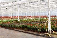Anthurium nursery in a green house Royalty Free Stock Image