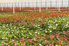 Anthurium nursery in a green house Royalty Free Stock Photography