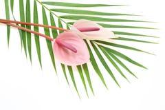 Anthurium op een blad Stock Afbeelding