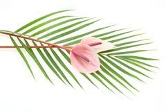 Anthurium op een blad Stock Afbeeldingen