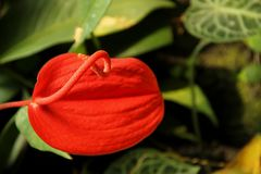 Anthurium. The orange bloom of an Anthurium flowering in a garden in the Fiji Islands Stock Image