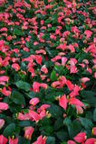 Anthurium pink. Take a Photo with Dasada Gallery path Bigmountian Prachin Buri Province Royalty Free Stock Photo