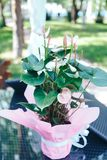 Anthurium pink in a pot. Pink Anthurium flower royalty free stock images