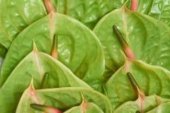 Anthurium Pistache Στοκ Φωτογραφία