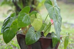 Anthurium Plant. At a Garden Royalty Free Stock Image