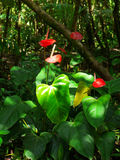 Anthurium plant and flower growing wild. Red Anthurium plant and flower growing wild in Maui in the rain forest. It is also called Flamingo Flower or Boy Flower Stock Images