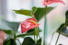 Anthurium plant at home garden on window. Anthurium plant at home garden on window stock images