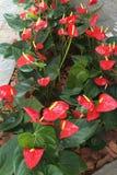 Anthurium plants Stock Images