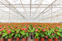 Anthurium plants in a greenhouse Royalty Free Stock Photos