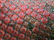 Anthurium plowmanii or anthurium red seeds royalty free stock image