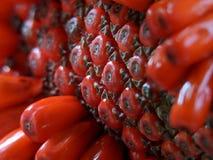 Anthurium plowmanii lub anthurium czerwoni ziarna obraz stock