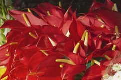 The anthurium is a popular exotic tropical indoor plant a very colorful inflorescence of red color stock photography