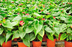 Anthurium potting Stock Images