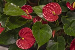 Anthurium red Flamingo flowers royalty free stock photography